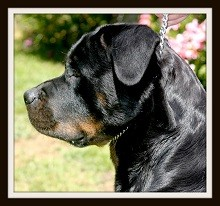 rottweiler90000.jpg