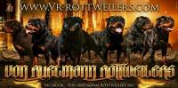 vr-rottweilers.jpg