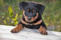 are-rottweilers-hypoallergenic_canna-pet-1024x683.jpg